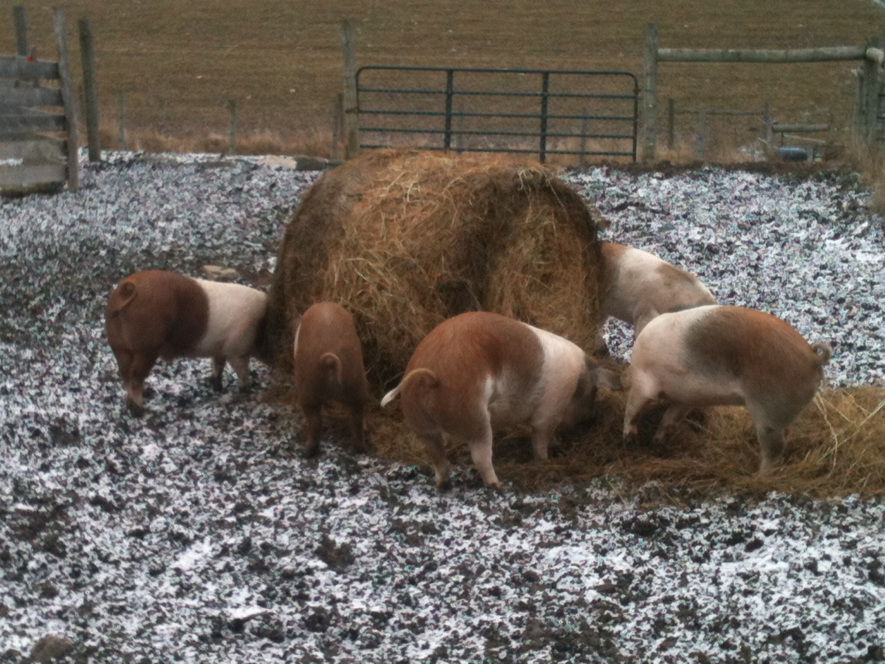 Pigs eating Round Bale.JPG?1405812644906